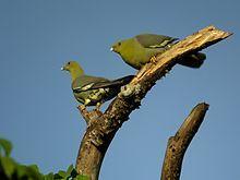 (Treron australis) Madagascan green pigeon