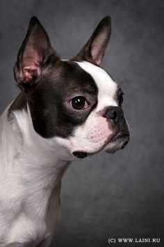 Classic Curious look from boston terrier