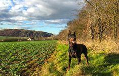 7 Dog Breeds That Are Super Protective – iHeartDogs.com Doberman Pinscher