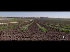 """La natura che nutre la natura:  finita la vendemmia quando le piante entrano nella fase di riposo, il terreno tra i filari viene lavorato per prepararlo alla semina autunnale di essenze da """"sovescio"""" che, interrate dopo il rigoglioso sviluppo invernale, tra la fine dimarzo e i primi di aprile, forniscono ulteriore apporto di sostanza organica al suolo per il benessere delle radici."""