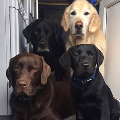 """7,623 Likes, 96 Comments - Best Labradors (@bestlabradors) on Instagram: """"All of them in one place. Which one is you favourite?   ▪️Credits: @cartercanines"""""""