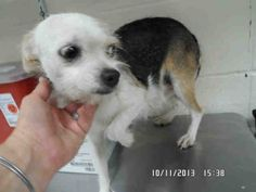 02/12/14 A222346  Chihuahua • Adult • Female • Small  Montgomery County Animal Shelter Conroe, TX