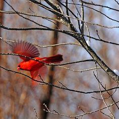 Cardinal Red - Arboretum University of Guelph Ontario Canada #art #photography #birds #cardinals #winter #redcardinal