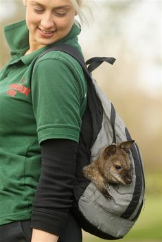Zoo keeper Jo Shirley wears a rucksack containing Tilly, an orphaned baby wallaby. Baby Animals, Cute Animals, Zoo Keeper, Work With Animals, Cute Posts, Creature Comforts, Orphan, Cute Babies, Cool Pictures