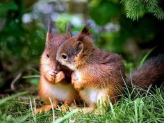 Squirrel love nuts so much. In case you live close to a nut tree, there is a chance that you can spot a squirrel running around carrying a nut. Hamsters, Rodents, Animals And Pets, Baby Animals, Funny Animals, Cute Animals, Nature Animals, Wild Animals, Cute Squirrel