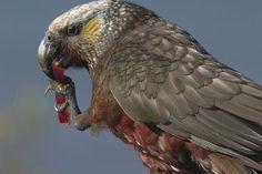 Kaka - NZ Parrot