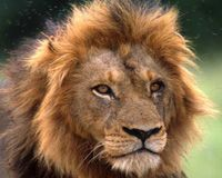 African Lions in Crisis: Please Help Today! http://www.thepetitionsite.com/takeaction/474/687/185/#