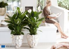 We are celebrating this with the Peace Lily, Houseplant of the month of June. This resilient green-white appearance, also known as the Spathiphyllum, highly values your health. Peace Lily, Lilly Plants, Peace Lillies, Flamingo Flower, Best Led Grow Lights, Decoration Plante, Home Garden Plants, Water Plants, Plant Design