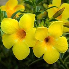 5 gorgeous climbers and creeper plants, for balcony/entrance garden! All these plants can easily climb up walls, spill out of hanging flower baskets and pots, or even grown as a houseplant. Blue Plants, Fruit Plants, Flowering Plants, Planting Flowers, Planter Accessories, Creepers Plants, Hanging Flower Baskets, Plants Online, Bulb Flowers