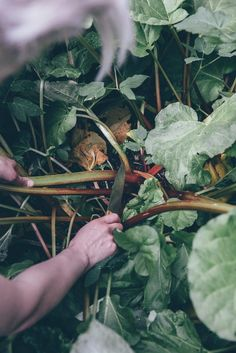 Picking rhubarb directly from the garden.