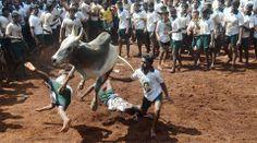 Jallikattu banned by Supreme Court http://www.thehansindia.com/posts/index/2014-05-08/Jallikattu-banned-by-Supreme-Court-94469