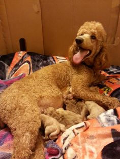 Rosey with her labordoodle pups