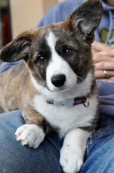 "Visit our web site for even more info on ""corgi dogs"". It is an outstanding area to read more. Corgi Husky, Corgi Mix, Corgi Pups, Baby Corgi, Cute Dogs Breeds, Dog Breeds, The Cardigans, Cardigan Welsh Corgi, Purebred Dogs"