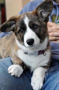 Corgi pup with brindles