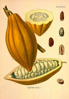 Cacao beans today - with sliced and whole beans and farm illustrations