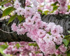 Boston Public Garden, Cherry Blossoms, Trees, Flowers, Plants, Cherry Blossom, Florals, Japanese Cherry Blossoms, Plant
