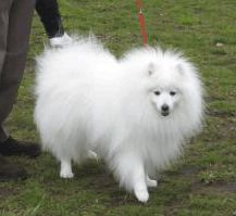 """BSZ CH. Charles of Grace Hyde CH. チャールズ オブ グレイスハイド  Japanese Spitz Association 102nd (Spring) headquarters Exhibition 2008  Reprinted from Japan Spitz Association Osaka Branch Home Page""""."""