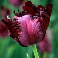 Buy tulips from Sarah Raven: Our tulip bulbs are the biggest and best we can find, from tried and trusted growers.