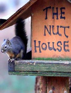 The squirrels took over the birdhouse and made it into The Nut House, a place where squirrels go to eat nuts.