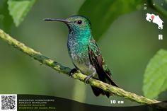 Mangrove Hummingbird. Costa Rica