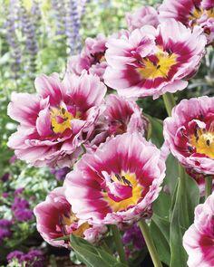 Dazzling Desire Tulips