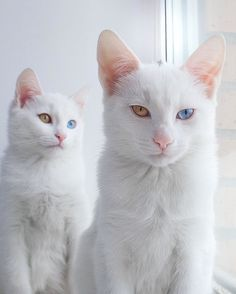 Adorable Twin Cats Share the Most Beautiful Multi-Colored Pair of Eyes - My…