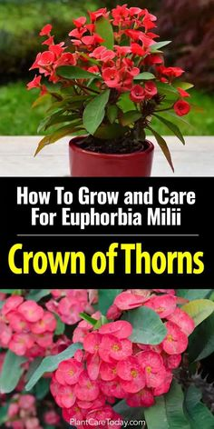 Organic Gardening Supplies Needed For Newbies Growing Crown Of Thorns Despite Its Intimidating Look Is Incredibly Easy. Treat Them Like Cactus, Grow Them Indoors Or Outdoors. Euphorbia Milii, Garden Plants, Indoor Plants, House Plants, Gardening Supplies, Gardening Tips, Crown Of Thorns Plant, Cactus Y Suculentas, Garden Care