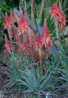 "De Wet Enviroscaping - the South African Aloe ""Hedgehog"" Aloe, Waterwise Garden, Fynbos, Planting Succulents, Desert Garden, Trees To Plant, Cactus And Succulents, Garden Plants For Sale, Plants"