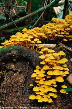 Fungi (mushroom) growing on decaying wood in Tropical Rain Forest, Brazil, Para, Amazon region.