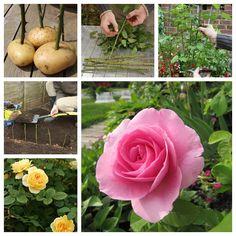 Propagate Roses On Potatoes F