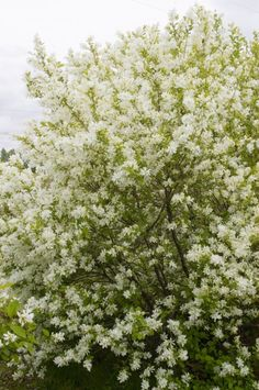"""Pearlbush, Lotus Moon (Exochorda x macrantha 'Bailmoon') White, round flower buds open to 5 petaled, about 1 1/2"""" across. Flowers cover 90% of shrub in late Apirl /early May (MN). Borne in 7-12 flowered racemes at ends of short lateral stems from branches of previous years growth. Prune after flowering. 4-5' x 3-4'"""