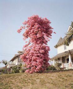 Via - Bougainvillea - Who took this? DM me. Bougainvillea, Toronto Travel, Botany, Bonsai, Planting Flowers, Beautiful Flowers, Gardening, Landscape, Outdoor