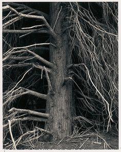 Tree, Point Arena, California  Ansel Easton Adams  (American, San Francisco, California 1902–1984 Carmel, California)  Date: 1960 Medium: Black and white instant print