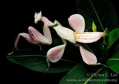 Orchid Mantis...is an ambush predator. Utilizing its superb camouflage it waits for unsuspecting insect prey to come within striking distance. Pictured here is a juvenile specimen. Pretty pink. Lives in West Java Indonesia.