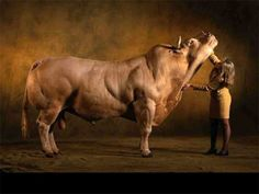 Belgian Blue Bull - If this is real....it's crazy big!