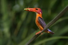 The African Pygmy Kingfisher