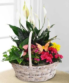 Spoil someone special with this bountiful basket of assorted green and flowering plants! Using only the season's finest selections, your garden basket will include spring favorites, such as Azaleas, Kalanchoe, Peace Lilies, Ivy, and Anthirium,...