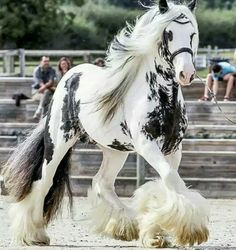 The Best horses on the world 🤞Irish-cob Stuffed Animals, Beautiful Creatures, Animals Beautiful, Most Beautiful Horses, Animals And Pets, Cute Animals, Farm Animals, Gypsy Horse, Gypsy Vanner Horses