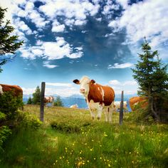 Kärnten, Austria Carinthia, Central Europe, The Republic, Capital City, Alps, Country Life, Cattle, Wonderful Places, Vienna
