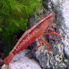 Singapore Flower Shrimp (Atyopsis moluccensis) - a hillstream filter feeding shrimp. Differences between the sexes is easily noticeable with the male being larger than the female. They are extremely difficult to breed going through many planktonic stages before reaching miniature adult stage and need brackish to full strength saltwater.