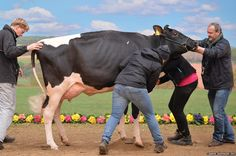 Assistants attempt to pose a cow