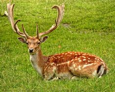 #animal #antler #deer #grass #meadow #nature #wilderness #wildlife