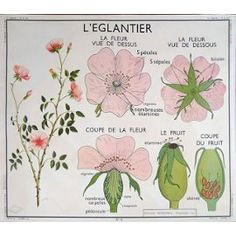 French Vintage School Poster Rose Sweet Pea Flower Botanical Garden Blossoms Description Rare Mid Century French School Poster For the vintag Vintage French Posters, French Vintage, Vintage Pink, Poster Vintage, Vintage Ads, French School, Parts Of A Plant, School Posters, Deco Floral