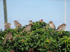 Sparrows in a sea rose bush at Pine Point. Thursday, September a. Old Orchard Beach, Work Site, Ocean Park, Sparrows, Rose Bush, Taking Pictures, Thursday, Pine, Coastal
