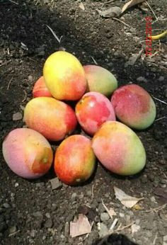 Sweet and Sour green Mangos