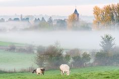 Twee koeien - Schorisse, België