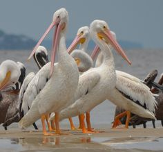 White Pelicans off the coast of Bloody Point, Daufuskie Island