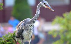 Heron - http://www.theenvironmentalblog.org/2012/09/awe-inspiring-bird-photos/