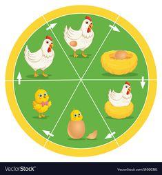 The life cycle of chicken vector image on VectorStock Preschool Classroom, Preschool Worksheets, Preschool Education, Kindergarten, Art Education, Science Activities, Science Projects, Activities For Kids, Sequencing Activities
