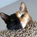 Si chiama Venus, come Venere, la dea dell'amore e della bellezza, ed è una gattina statunitense di quasi quattro anni le cui foto spopolano sul web. Basta osservarla per capire il perché: il suo musetto è perfettamente diviso a metà e non è merito di Photoshop. Il suo lato destro sembrerebbe quello di un gatto nero, con un occhio verde, mentre il sinistro è in tutto e per tutto quello di un gatto rosso con un occhio azzurro.